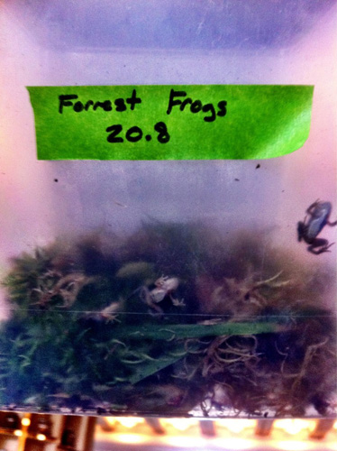 Forest frogs.
