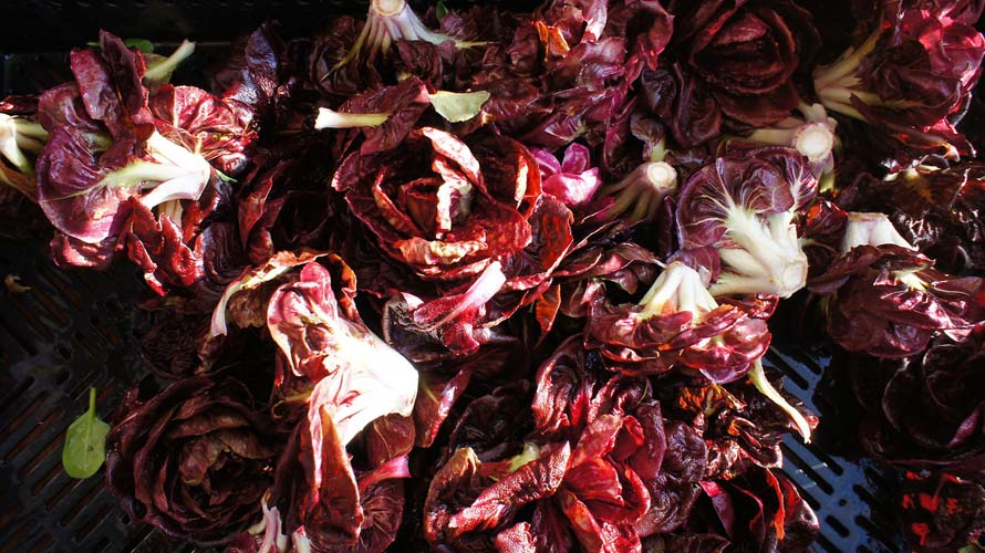 Radicchio rosettes get their close-up, and they've never looked so glamorous.