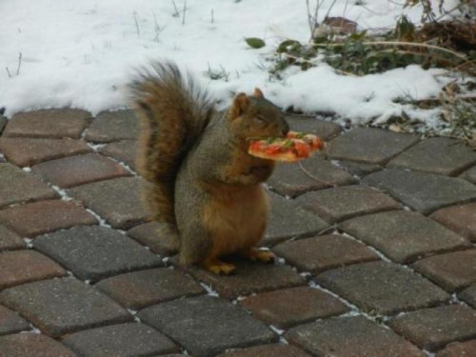 Squirrel Holding Pizzajpeg