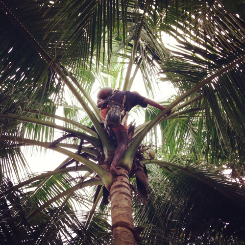 Climbing palm trees to tap toddy requires great strength and agility.