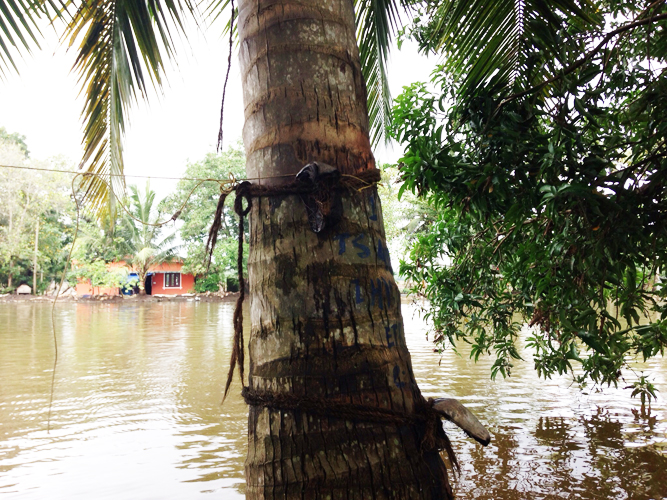 The palms are tied with coconut husks in two feet intervals, making the trees into ladders.
