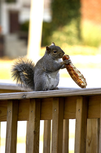Squirrel Holding Pizza