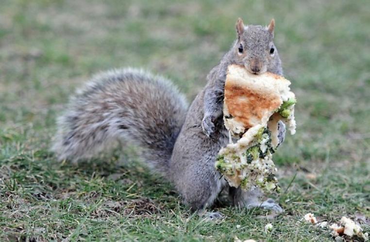 squirrel holding pizzajpeg (1)