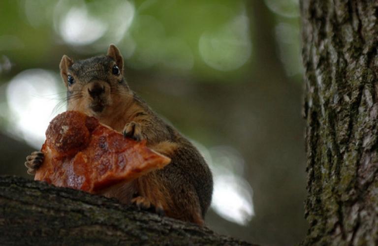 squirrel holding pizzajpeg (3)