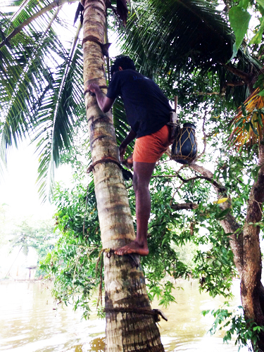 A villager in Aimanam climbs the palm tree. Once he reaches the top, he collects the sap from a vessel placed under the palm flower bud.