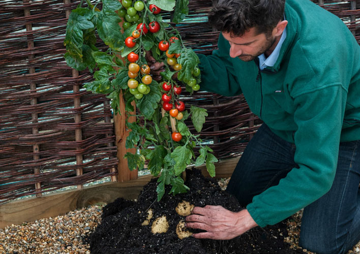 TOMTATO Cherry tomatoes and white potatoes have been grafted together by Modern Farmer)