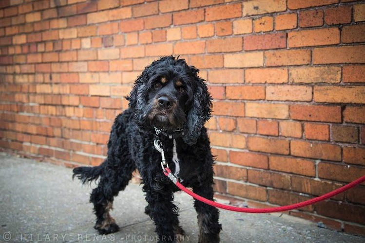 Nacho Libre is a four-year-old cocker spaniel mix that weighs around 30 pounds. Originally from Mexico, he now lives in NYC and is up for adoption. (Photo: Pet Finder)
