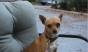 This two-year-old Chihuahua named Nacho is only seven pounds and is currently up for a