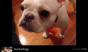 Follow Nachodogg on Vine for plenty of French bulldog hijinks. (Photo: Seenive)