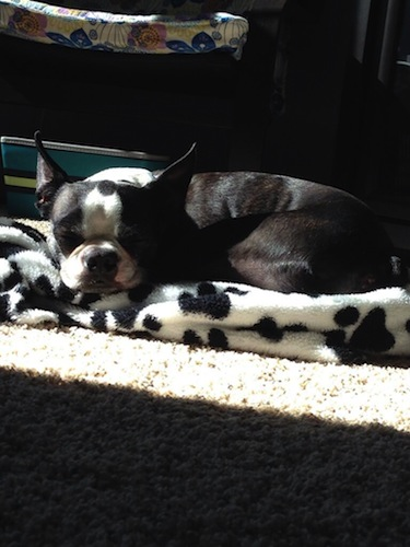 This Boston Terrier is chillin' in Wisconsin, loving his name, which is Nacho. (Photo: Bterrior)