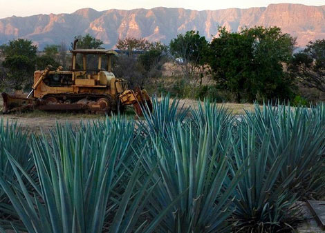 agave 8 Things You Didnt Know About The Margarita