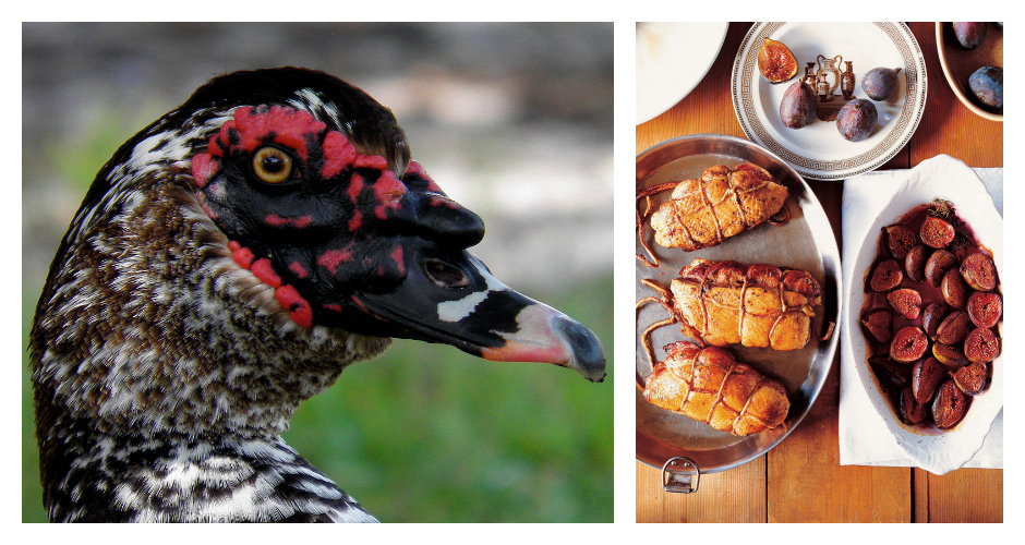 """MUSCOVY DUCKCulinary uses: Famous for the fleshy growths on their heads, these ducks are leaner than their more traditional relatives. In a culinary context, the animals are often referred to as """"Barbary ducks,"""" and their breasts are typically served roasted. Commonly used in: American, Central American, and South American cuisine(Photos: 10,000 Birds, Dartagnan)"""