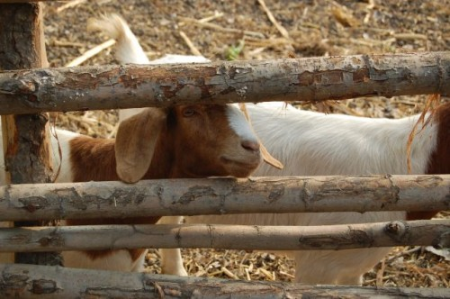 Goats at TooToo Organic Farm in Pinggu county. Photo: The Hutong