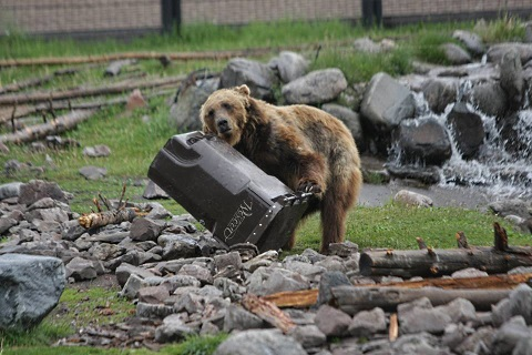 bears testing garbage cans 2