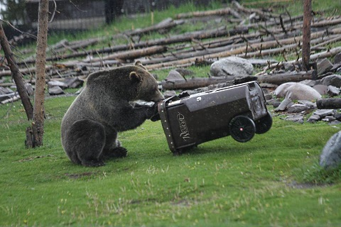 bears testing garbage cans 3