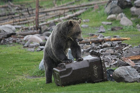 bears testing garbage cans 4