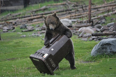 bears testing garbage cans 5