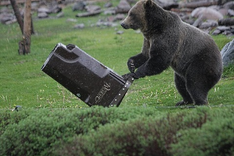 bears testing garbage cans