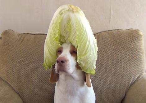 Photo: Maymo the Lemon Beagle
