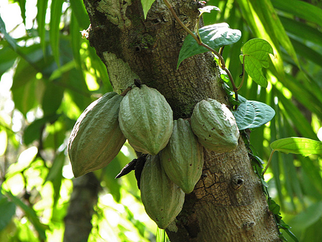 Cocoa pods. (Photo: Flickr/ Karunakar Rayker)