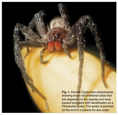 spider cupiennius chiapanensis