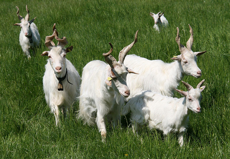 goat-picture-girgenta