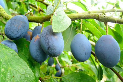 Damson_plum_fruit
