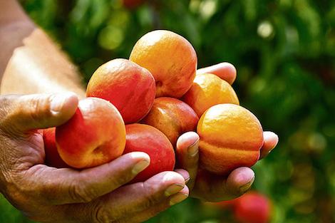 pepin_apricot