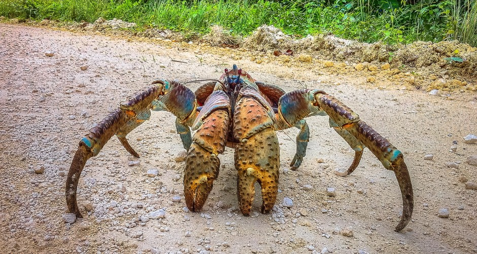 giant coconut crab facts - photo #20