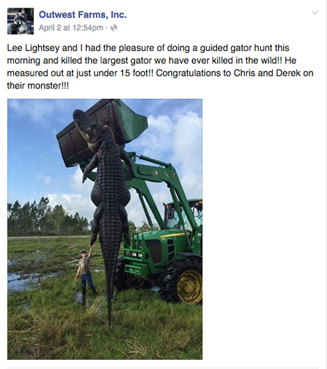 mind blowing 15 foot alligator is killed by hunters in florida after